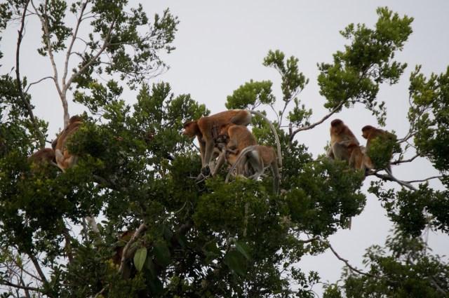 Proboscis monkeys.