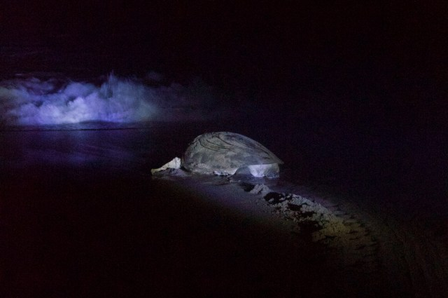 Momma turtle heading back to the sea.