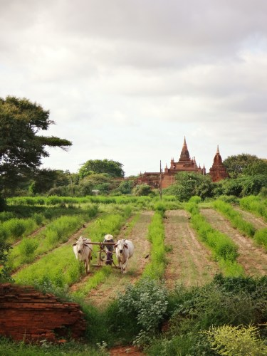 Farmland surrounds many of the temples.