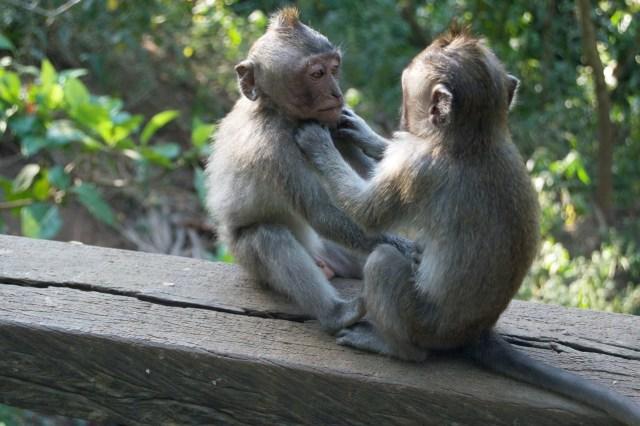 Monkey grooming.