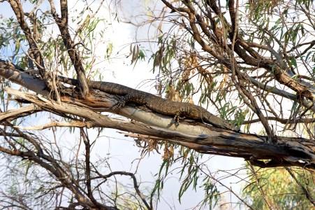 Giant lizard, I think it's a monitor lizard?