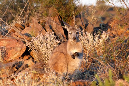 Roo at sunset.