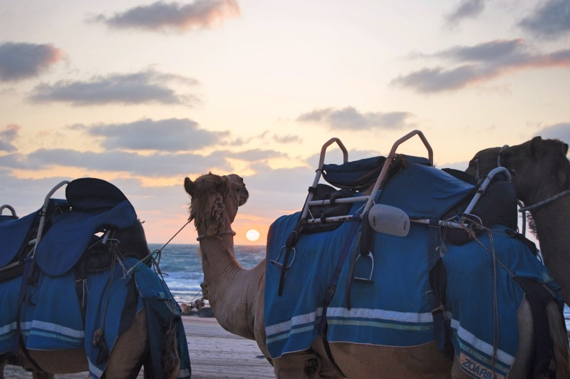 Camel sunset.