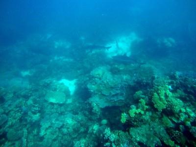 Reef sharks congregating.