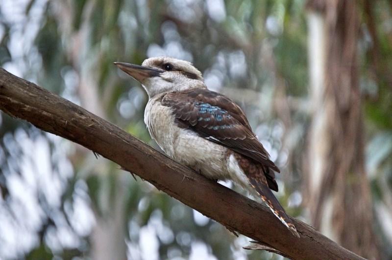 Kookaburra at our campsite.