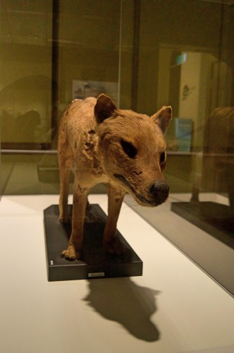 Tasmanian tiger taxidermy.