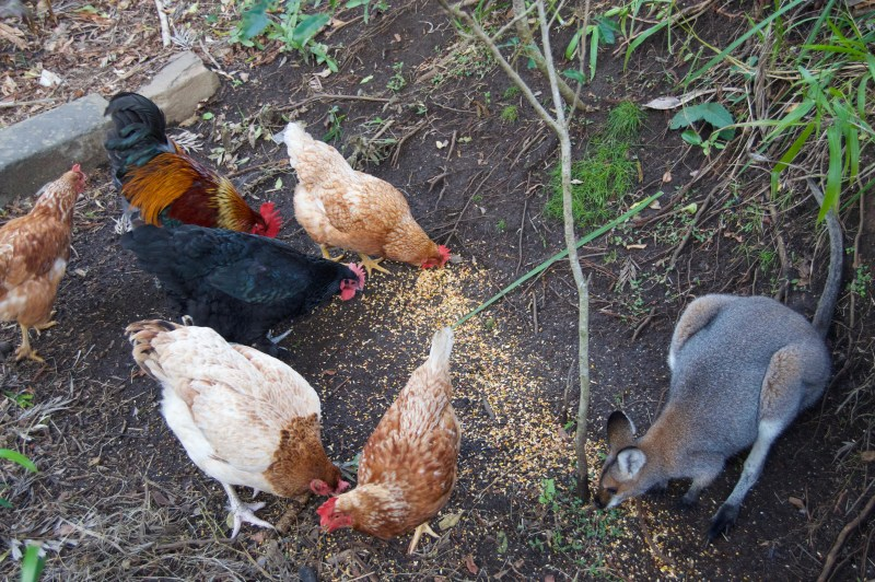 Chooks and a rogue wallaby.