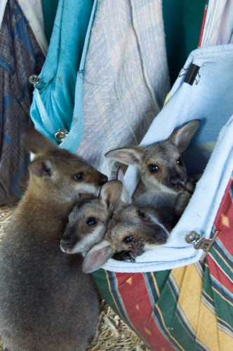 Too many wallabies in one pouch!
