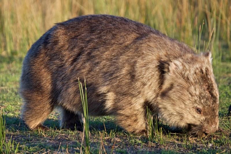 Big wombat!