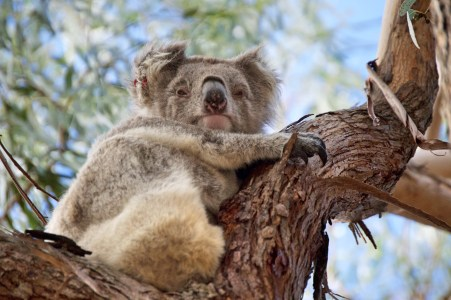 Grumpy koala.