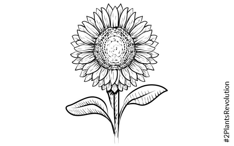 Sonnenblumenöl in der Kosmetik