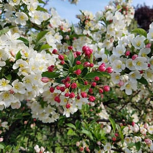 Best Spring Flowering Trees To Plant In Northeast Ohio Independent Tree