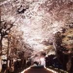 nijo-castle sakura