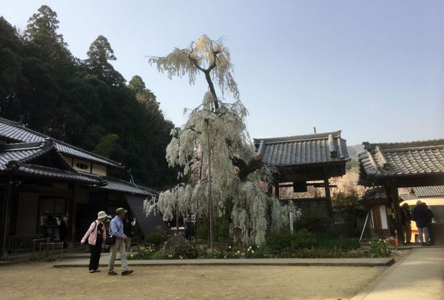 300 year old weeping cherry tree