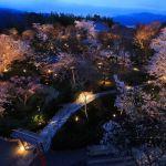 shoryu-den cherry blossom