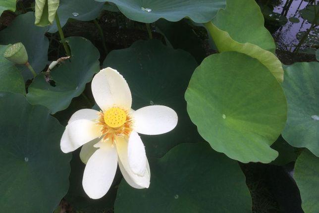 mimuroto-ji lotus