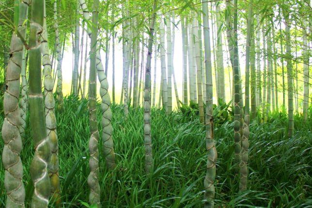 rakusei bamboo