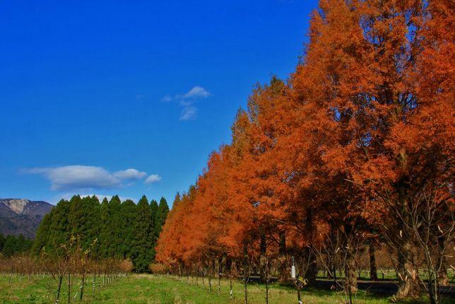 metasequoia takashima