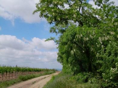 22052008 ND KalvarienbergWeg Weingärten+Robinien 15