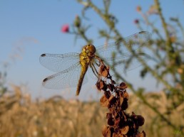 DSCN8473 2010-07-13 ND Libelle