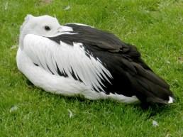 2011-07-28 Vogelpark Walsrode 02-257 Brillenpelikan