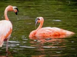 2011-07-28 Vogelpark Walsrode 05-203 2Flamingos