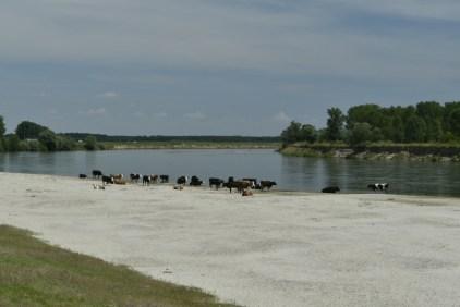 Cattle, River Olt