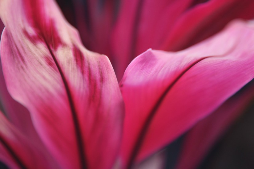 pink lily petals flower