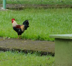 Chickens are EVERYWHERE, including the park.