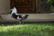 Not a wild bird, but was told it's an expensive fighting cock. He was leashed to the front yard.