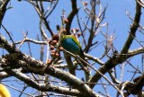 Bay-headed Tanager: his head is hiding by the berries.