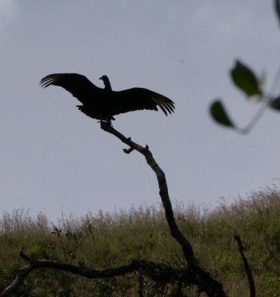I think this is a black vulture. Lighting is poor but I've never seen a vulture like this and his silhouette is cool.