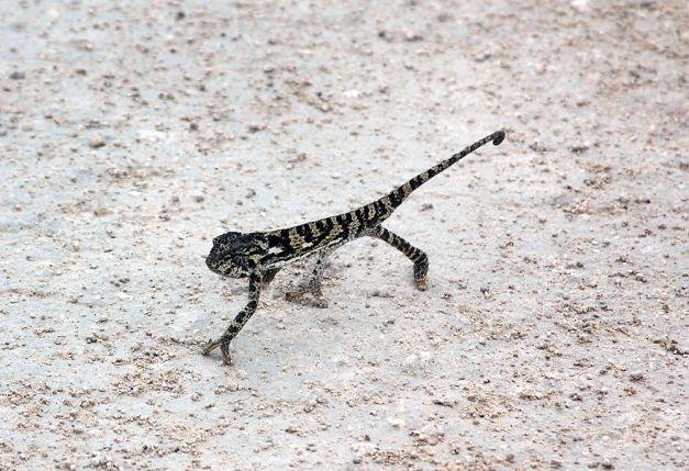 chameleon brown