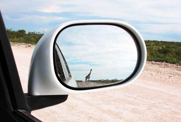 giraffe rearview