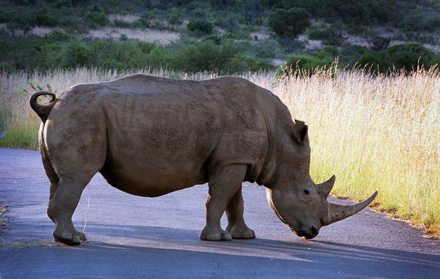 rhino06