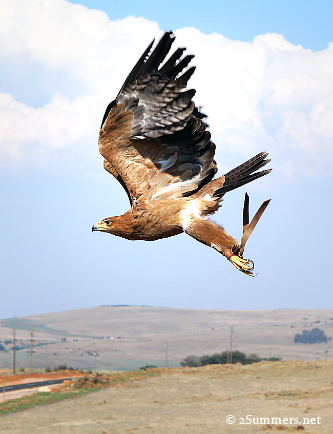 Tawny-eagle-flying
