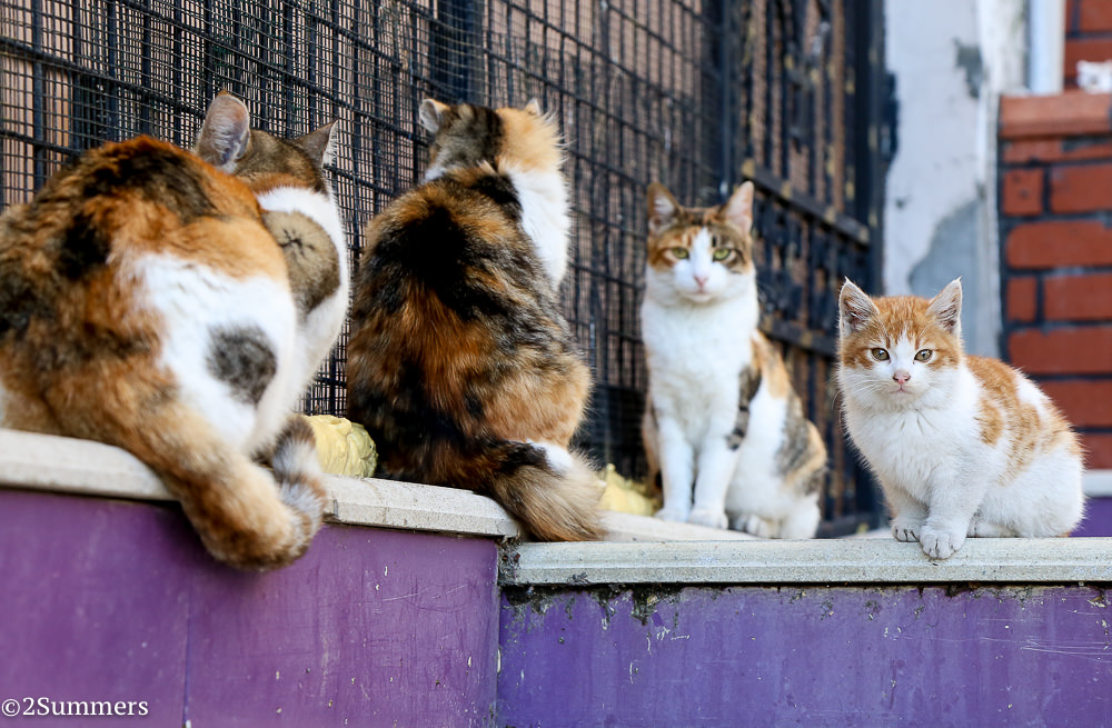 Istanbul cats-2-3