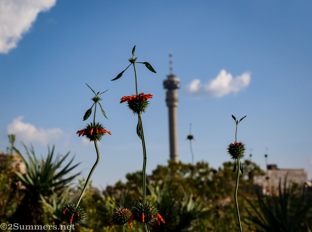 Wild dagga and the Hillbrow Tower, as seen from the Wilds
