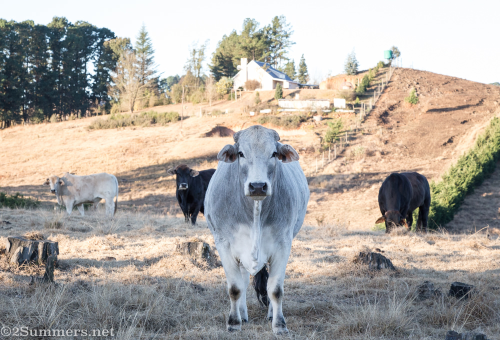 Cows ar Brahman Hills