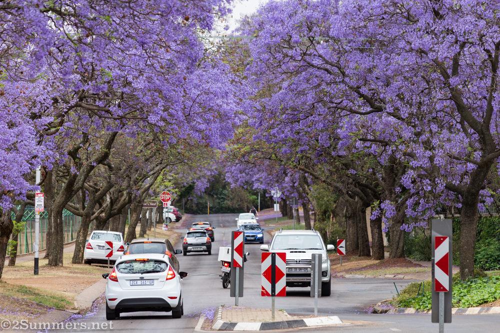 Purple jacaranda street