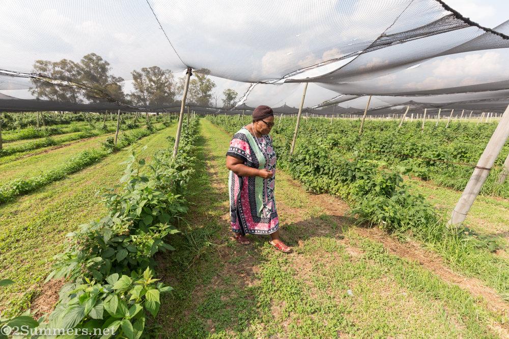 Lungi walks the fields at Field Berry Farm