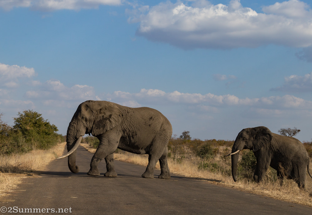 Big elephants crossing the road