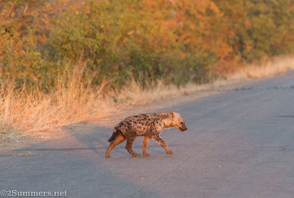 Hyena cub crossing the road