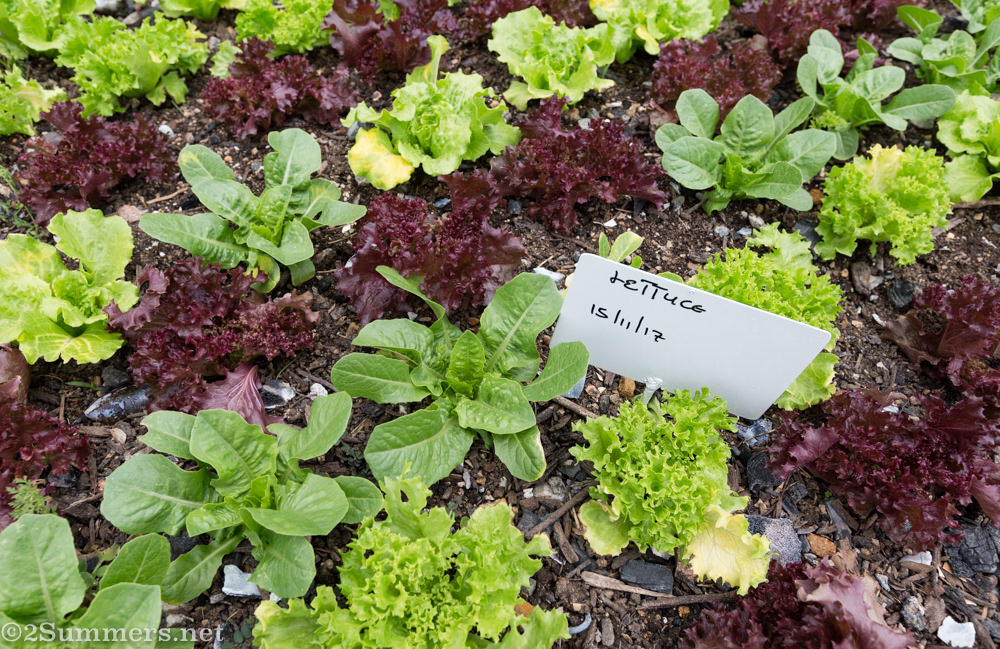 Lettuce growing at Culinary Table