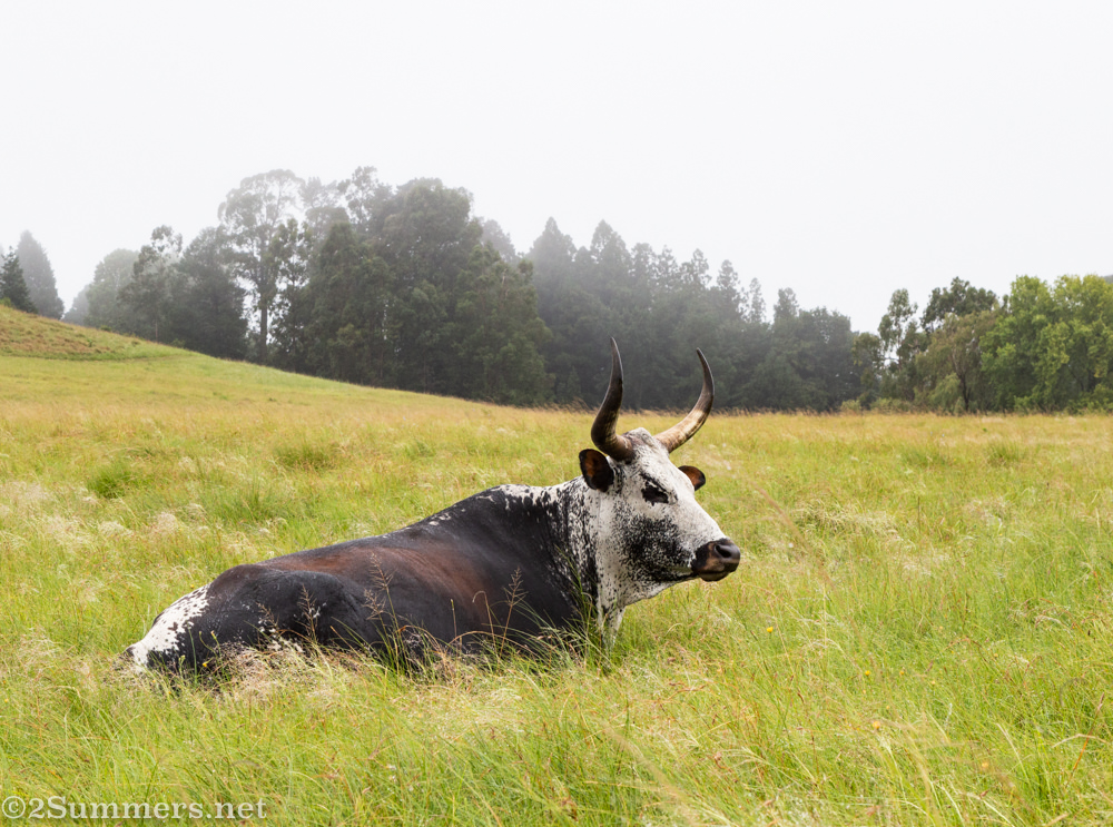 Nguni cow at Brahman Hills in KwaZulu-Natal