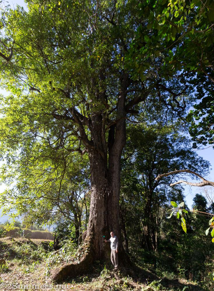 Howard blight with the Matumi tree at Amorentia.