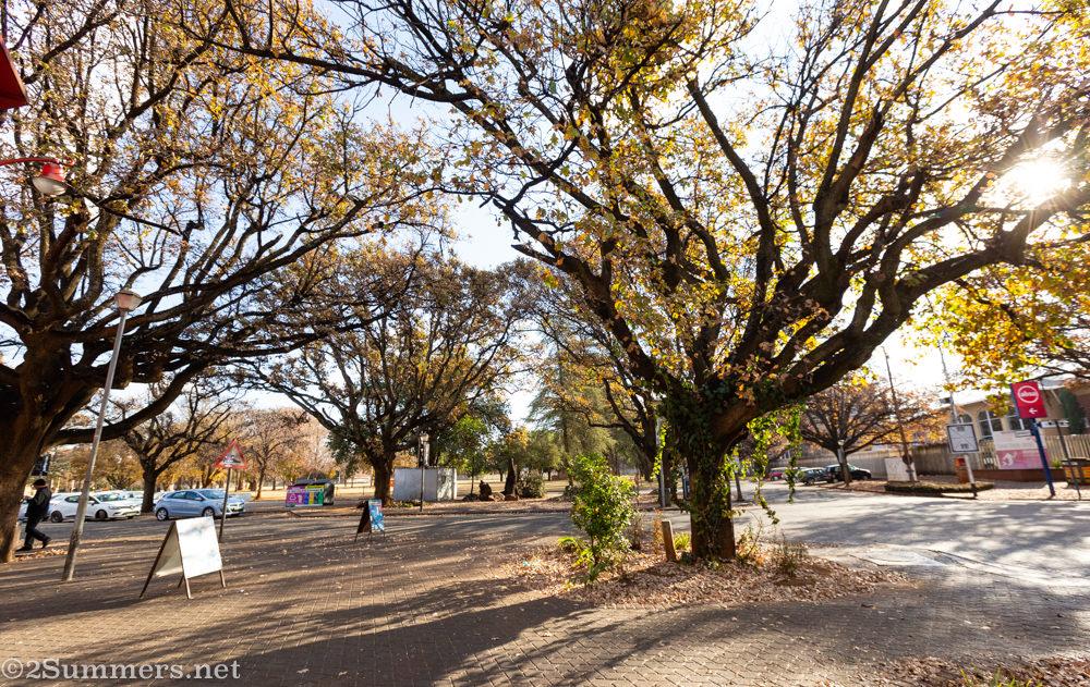 Oak trees of Potchefstroom