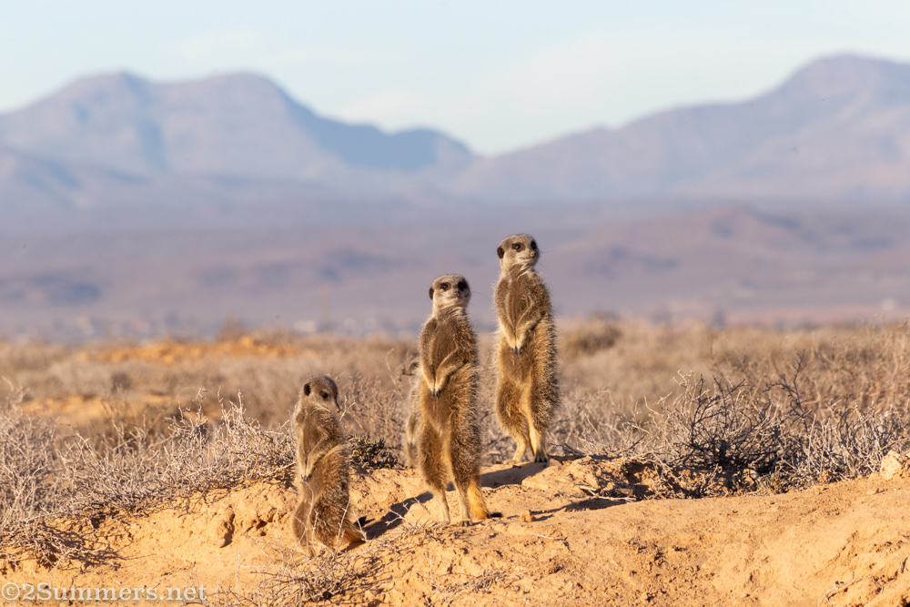 Still three meerkats