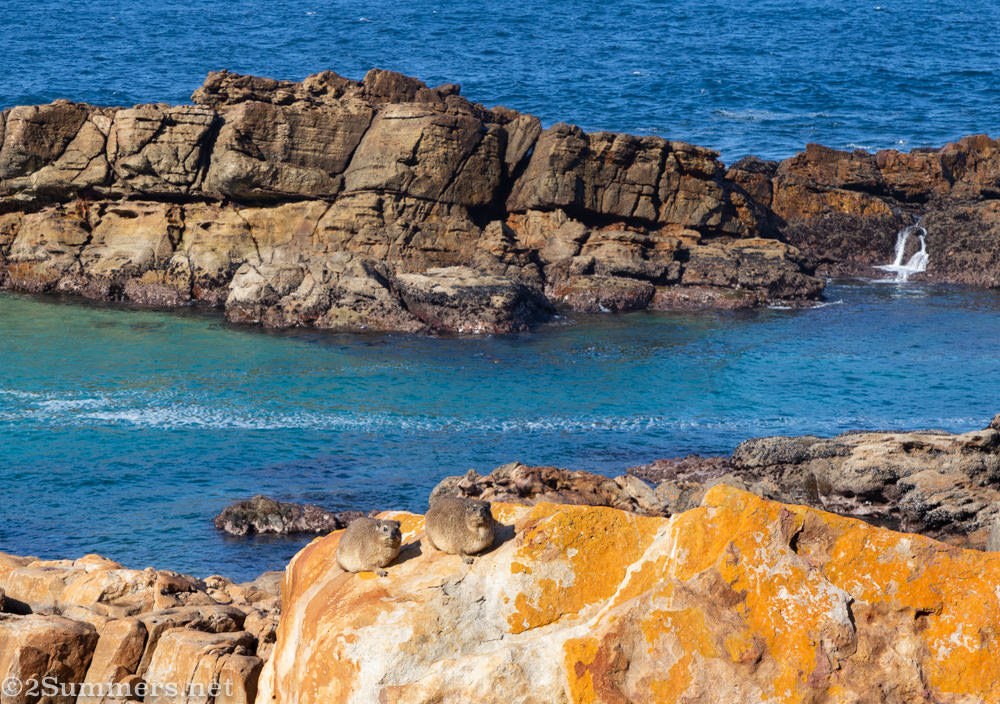 Dassies in Robberg