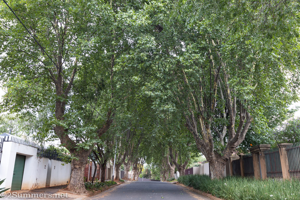 Trees on 6th Avenue in Melville